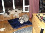 Dogs sleeping March 07.JPG