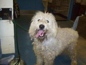 Old English Sheepdog Mix: An adoptable dog in Inverness, FL