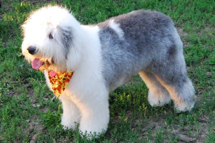 Do I HAVE to shave my Sheepie in the summer?